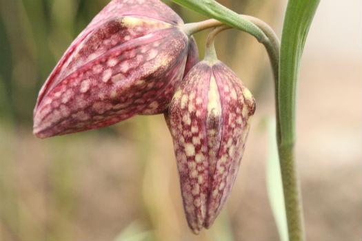 Flores madurando